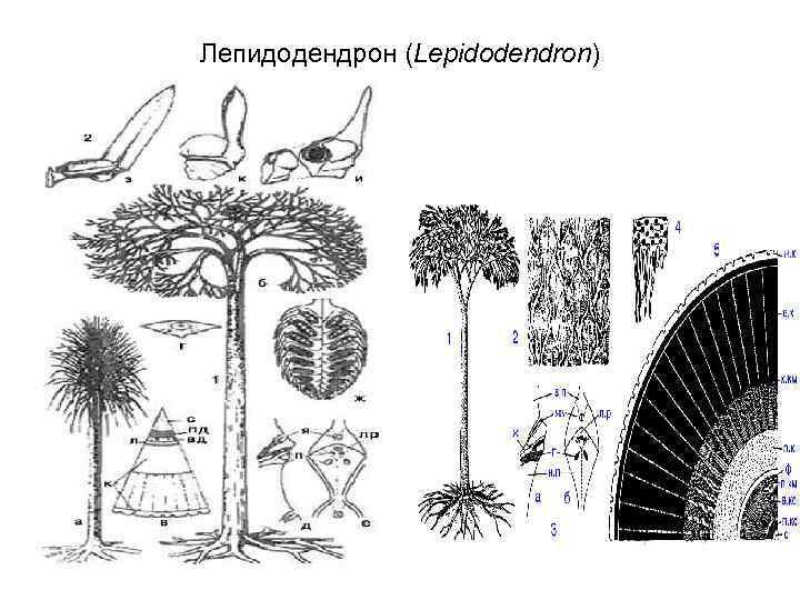 Лепидодендрон (Lepidodendron)