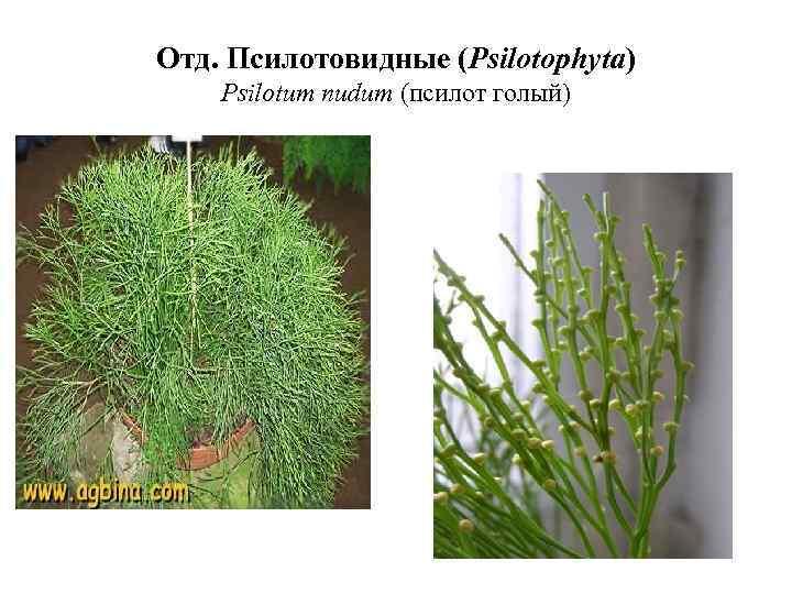 Отд. Псилотовидные (Psilotophyta) Psilotum nudum (псилот голый)