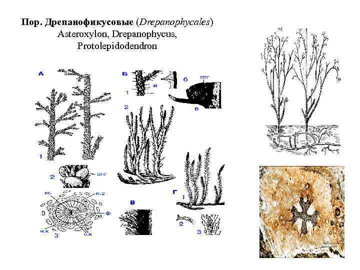 Пор. Дрепанофикусовые (Drepanophycales) Asteroxylon, Drepanophycus, Protolepidodendron