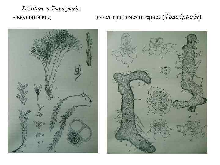 Psilotum и Tmesipteris - внешний вид гаметофит тмезиптериса (Tmesipteris)