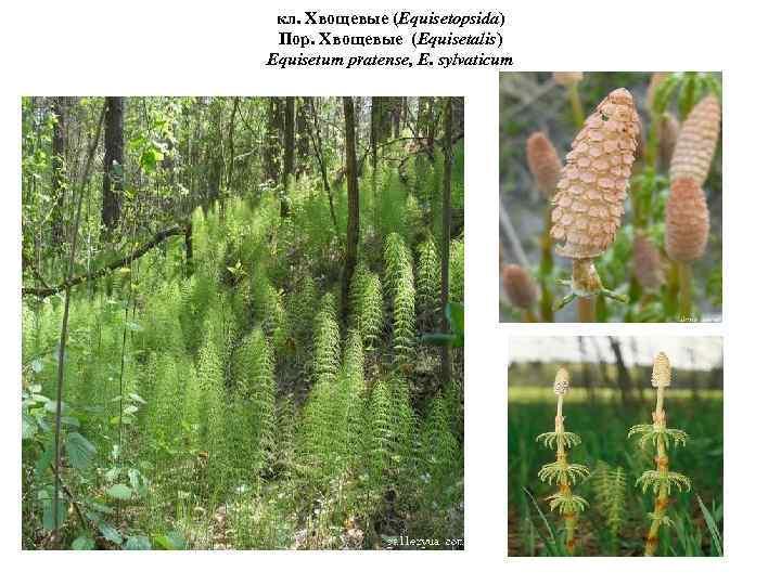 кл. Хвощевые (Equisetopsida) Пор. Хвощевые (Equisetalis) Equisetum pratense, E. sylvaticum лес