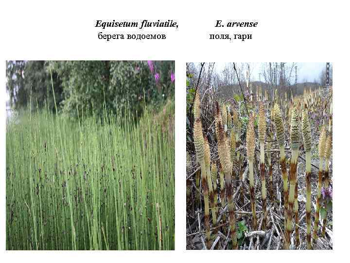 Equisetum fluviatile, берега водоемов E. arvense поля, гари