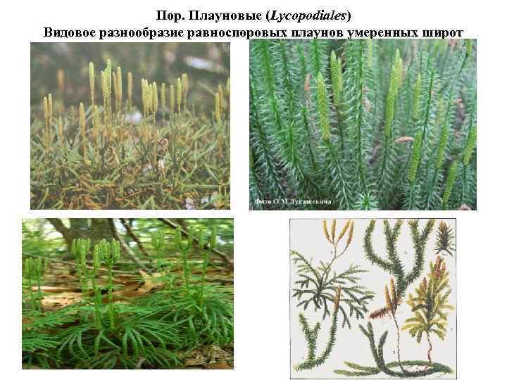 Пор. Плауновые (Lycopodiales) Видовое разнообразие равноспоровых плаунов умеренных широт