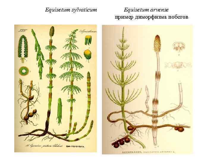 Equisetum sylvaticum Equisetum arvense пример диморфизма побегов