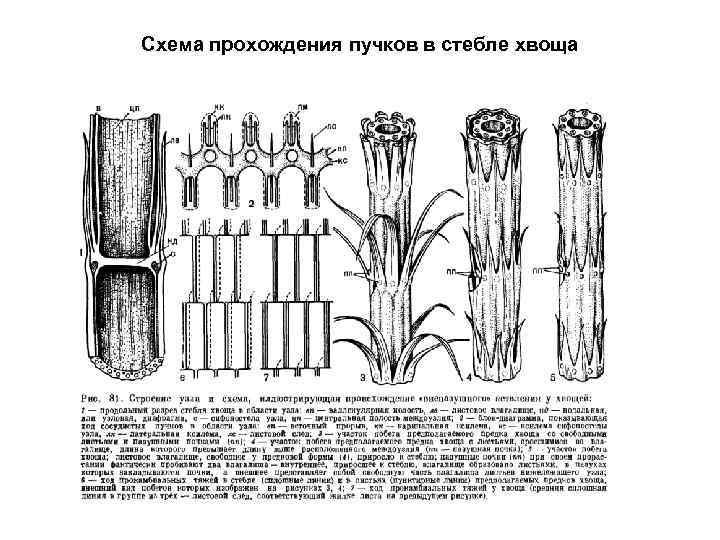 Схема прохождения пучков в стебле хвоща