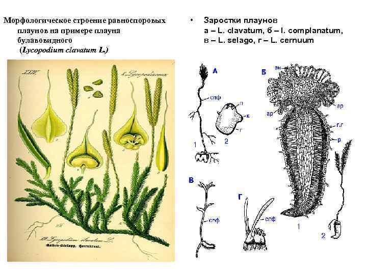 Морфологическое строение равноспоровых плаунов на примере плауна булавовидного (Lycopodium clavatum L. ) • Заростки