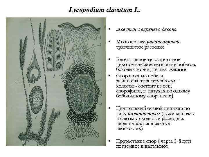 Lycopodium clavatum L. • известен с верхнего девона • Многолетнее равноспоровое травянистое растение •
