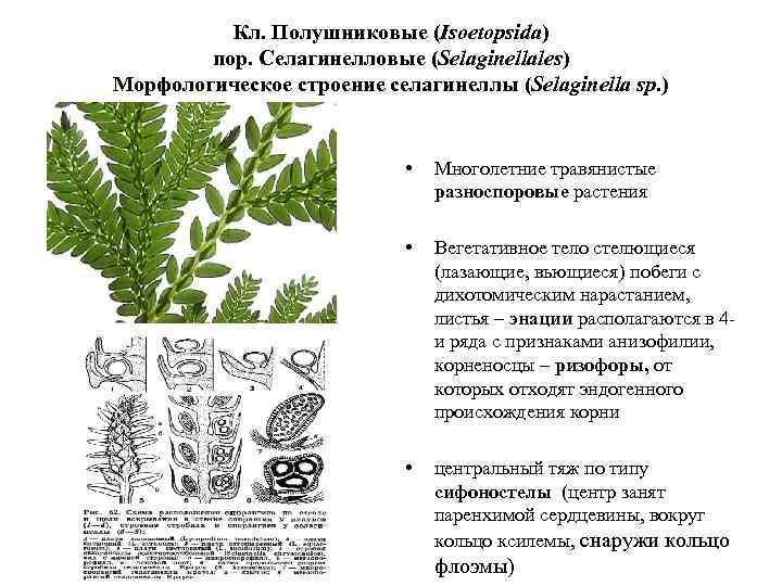 Кл. Полушниковые (Isoetopsida) пор. Селагинелловые (Selaginellales) Морфологическое строение селагинеллы (Selaginella sp. ) • Многолетние