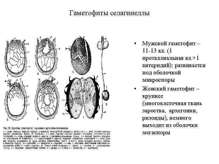 Гаметофиты селагинеллы • Мужской гаметофит – 11 -13 кл. (1 проталлиальная кл. +1 антеридий);
