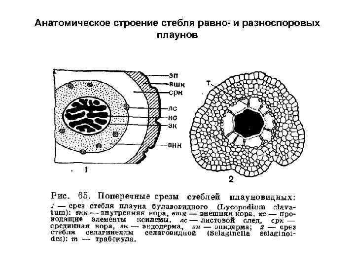 Анатомическое строение стебля равно- и разноспоровых плаунов