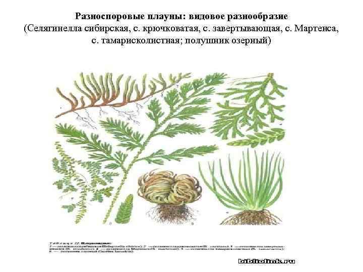 Разноспоровые плауны: видовое разнообразие (Селягинелла сибирская, с. крючковатая, с. завертывающая, с. Мартенса, с. тамарисколистная;