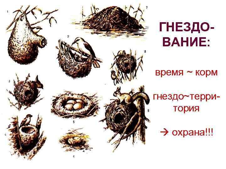 ГНЕЗДОВАНИЕ: время ~ корм гнездо~территория охрана!!!