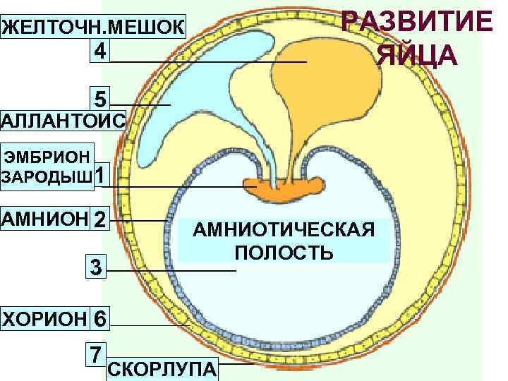 РАЗВИТИЕ ЯЙЦА ЖЕЛТОЧН. МЕШОК 4 5 АЛЛАНТОИС ЭМБРИОН ЗАРОДЫШ 1 АМНИОН 2 3 АМНИОТИЧЕСКАЯ