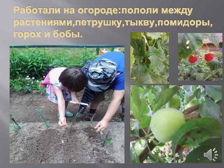 Работали на огороде: пололи между растениями, петрушку, тыкву, помидоры, горох и бобы.