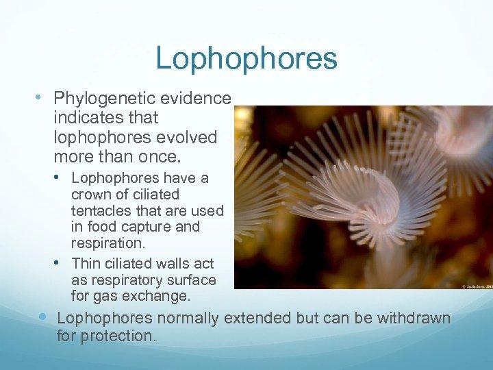 Lophophores • Phylogenetic evidence indicates that lophophores evolved more than once. • Lophophores have