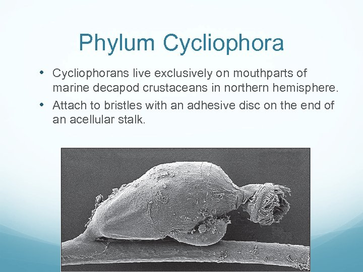 Phylum Cycliophora • Cycliophorans live exclusively on mouthparts of marine decapod crustaceans in northern