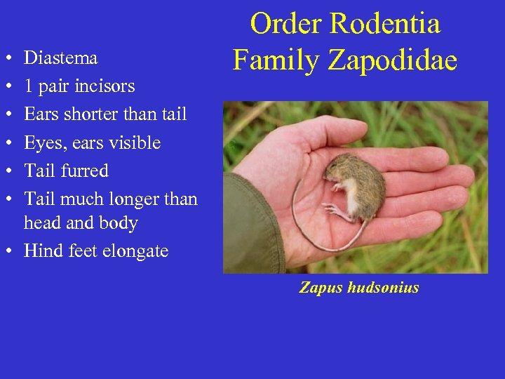 • • • Diastema 1 pair incisors Ears shorter than tail Eyes, ears