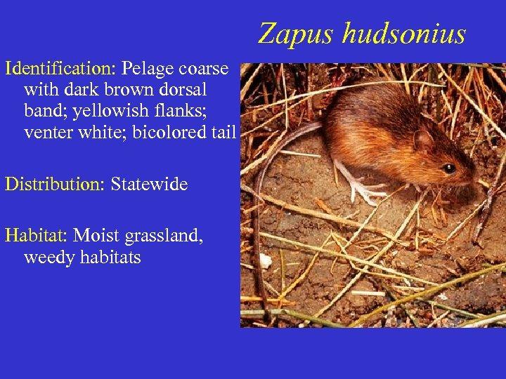 Zapus hudsonius Identification: Pelage coarse with dark brown dorsal band; yellowish flanks; venter white;