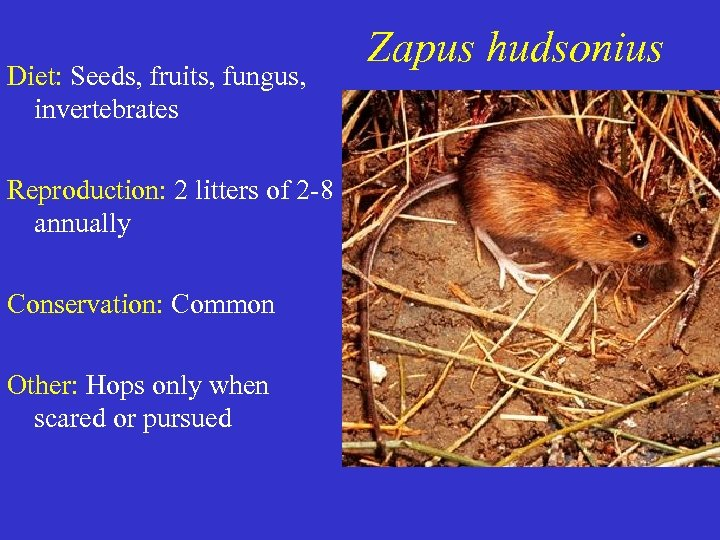 Diet: Seeds, fruits, fungus, invertebrates Reproduction: 2 litters of 2 -8 annually Conservation: Common