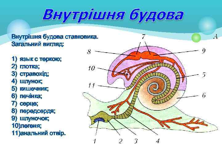 Внутрішня будова ставковика. Загальний вигляд: 1) язык с теркою; 2) глотка; 3) стравохід; 4)