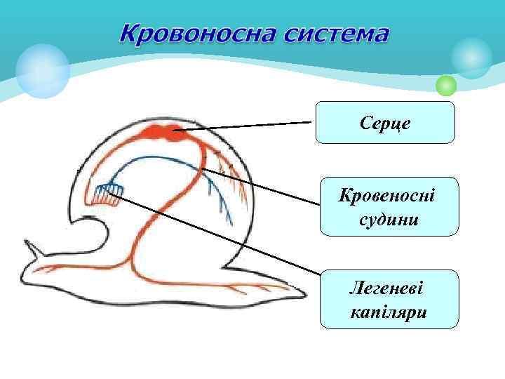 Серце Кровеносні судини Легеневі капіляри