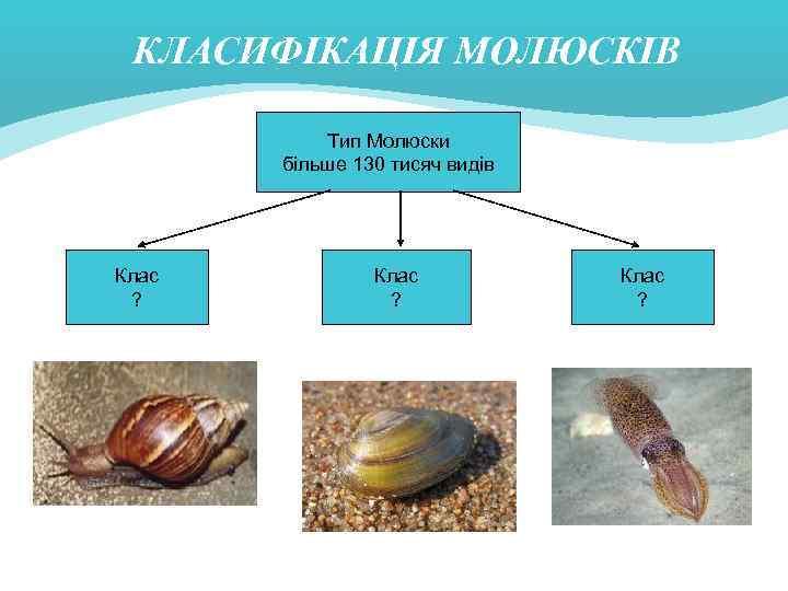 КЛАСИФІКАЦІЯ МОЛЮСКІВ Тип Молюски більше 130 тисяч видів Клас ?