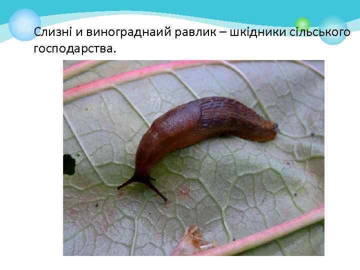 Слизні и винограднаий равлик – шкідники сільського господарства.