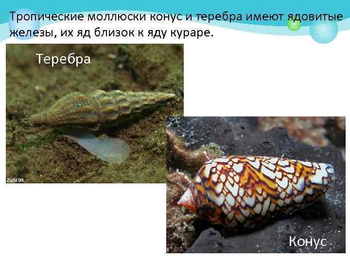 Тропические моллюски конус и теребра имеют ядовитые железы, их яд близок к яду кураре.