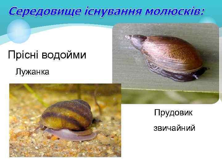 Прісні водойми Лужанка Прудовик звичайний