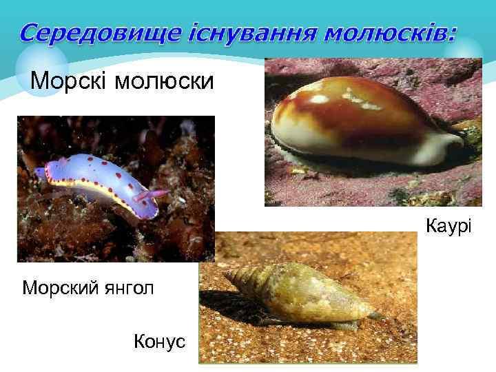 Морскі молюски Каурі Морский янгол Конус