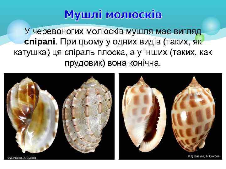 У черевоногих молюсків мушля має вигляд спіралі. При цьому у одних видів (таких, як