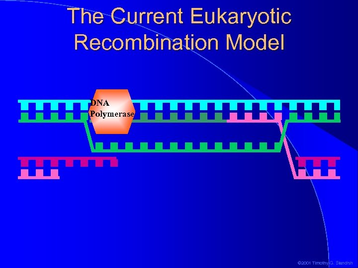 The Current Eukaryotic Recombination Model DNA Polymerase © 2001 Timothy G. Standish