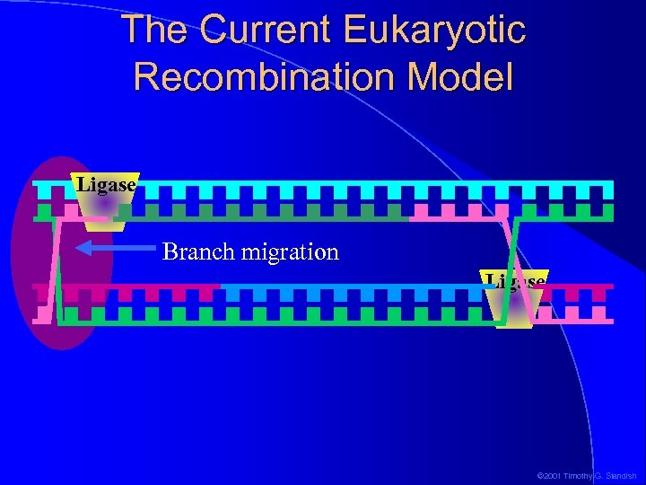 The Current Eukaryotic Recombination Model Ligase Branch migration Ligase © 2001 Timothy G. Standish