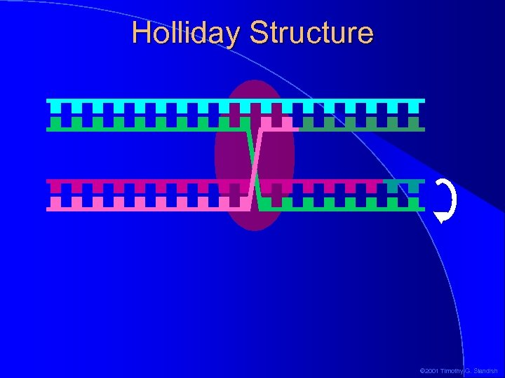 Holliday Structure © 2001 Timothy G. Standish