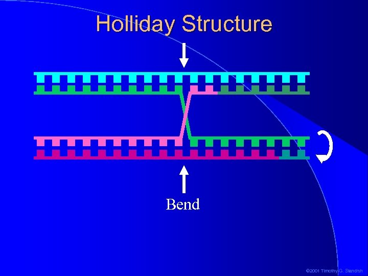 Holliday Structure Bend © 2001 Timothy G. Standish