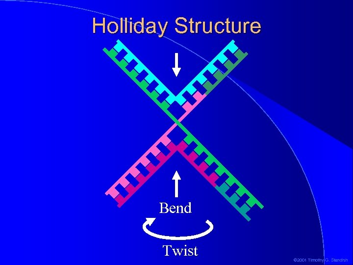 Holliday Structure Bend Twist © 2001 Timothy G. Standish