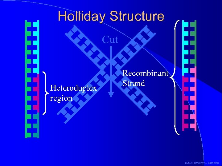 Holliday Structure Cut Heteroduplex region Recombinant Strand © 2001 Timothy G. Standish