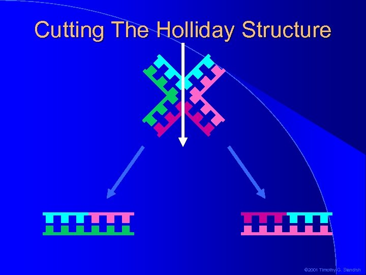 Cutting The Holliday Structure © 2001 Timothy G. Standish