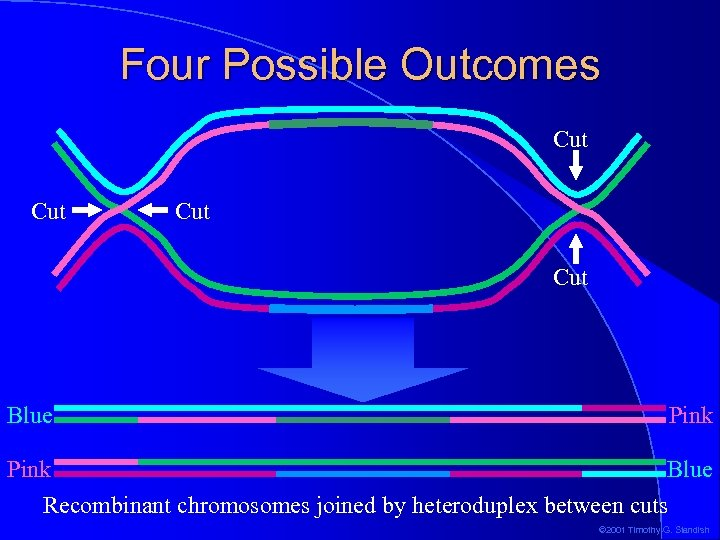Four Possible Outcomes Cut Cut Blue Pink Blue Recombinant chromosomes joined by heteroduplex between