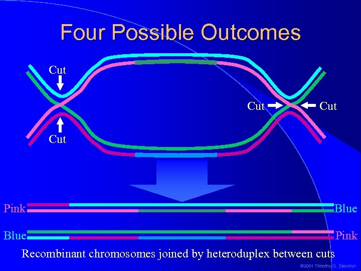 Four Possible Outcomes Cut Cut Pink Blue Pink Recombinant chromosomes joined by heteroduplex between