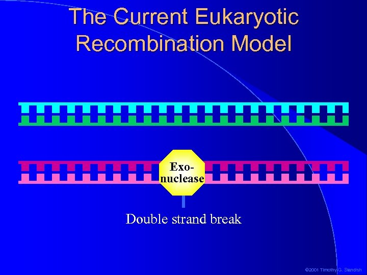 The Current Eukaryotic Recombination Model Exonuclease Double strand break © 2001 Timothy G. Standish