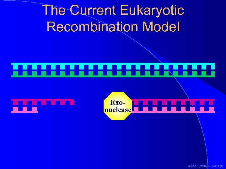 The Current Eukaryotic Recombination Model Exonuclease © 2001 Timothy G. Standish