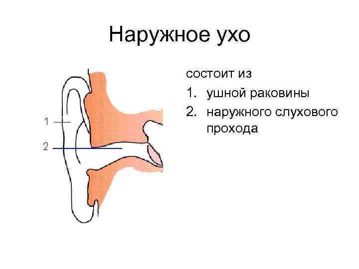 Наружное ухо состоит из 1. ушной раковины 2. наружного слухового прохода
