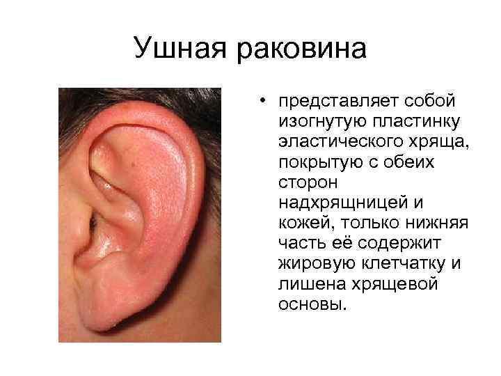 Ушная раковина • представляет собой изогнутую пластинку эластического хряща, покрытую с обеих сторон надхрящницей