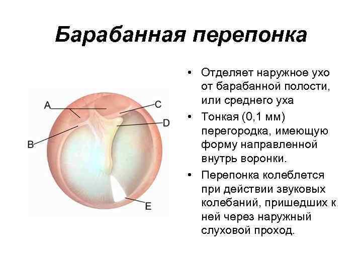 Барабанная перепонка • Отделяет наружное ухо от барабанной полости, или среднего уха • Тонкая