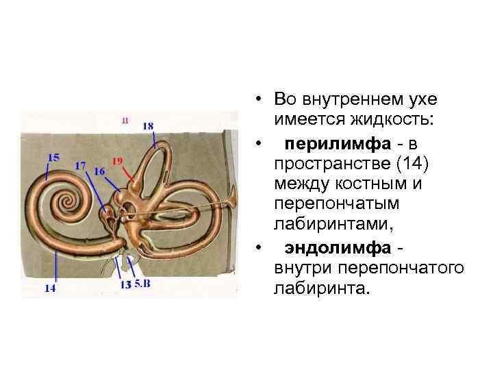 • Во внутреннем ухе имеется жидкость: • перилимфа в пространстве (14) между костным