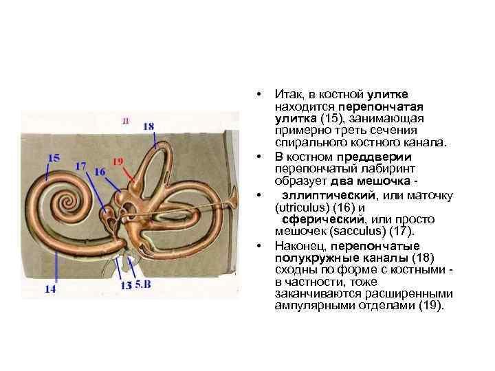 • • Итак, в костной улитке находится перепончатая улитка (15), занимающая примерно треть
