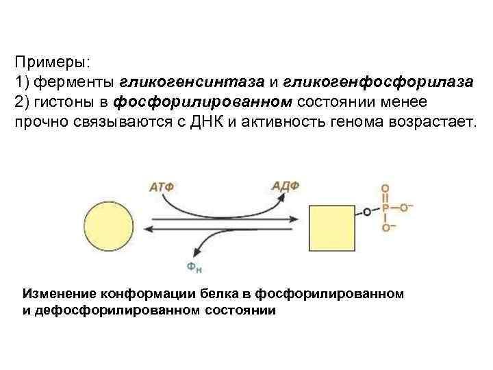 Примеры: 1) ферменты гликогенсинтаза и гликогенфосфорилаза 2) гистоны в фосфорилированном состоянии менее прочно связываются