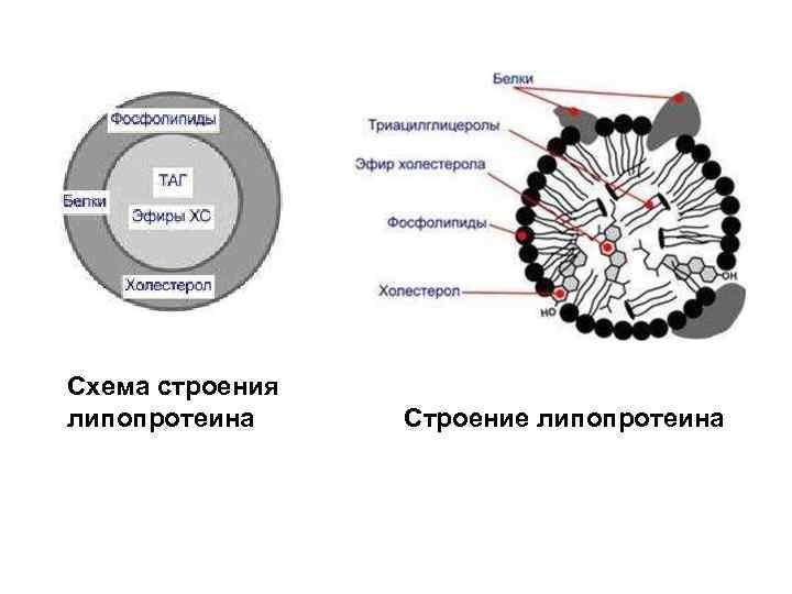 Схема строения липопротеина Строение липопротеина