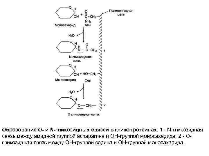 Образование О- и N-гликозидных связей в гликопротеинах. 1 - N-гликозидная связь между амидной группой